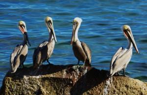 The Pelican Quartet