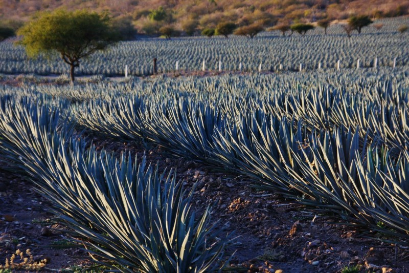 Traveling northeast on more yellow roads, we passed field after field of blue agave, the origins of blue agave tequila.