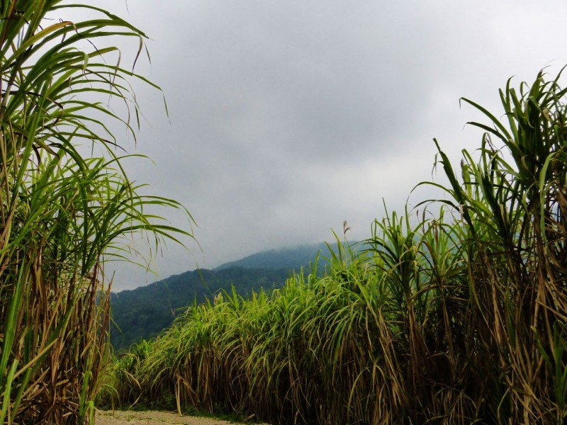 "This was sugar cane country!  The yellow roads turned to dirt, and the pageant of this sweet commodity was dramatically played out as we drove along in a drizzly mist.   The crops thrived in this warm, humid climate in the valleys between ""King Kong"" looking mountains."