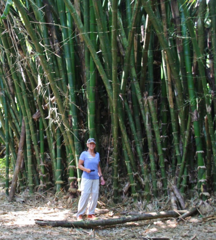 Giant bamboo forest.