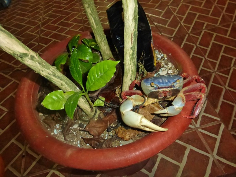 The restaurant kept this poor crab on a string as a pet. He lived in a potted plant.