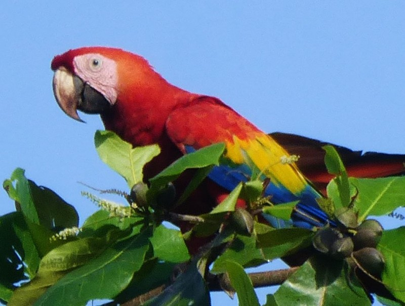 Macaw!