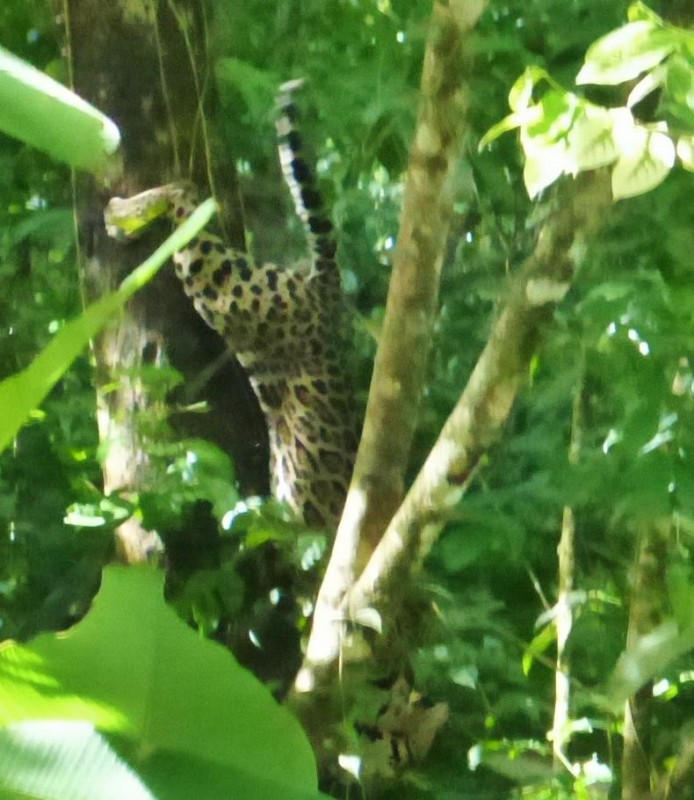 Just missed a full faced shot of this Ocelot. Oscar was very excited because in six years of doing these tours, he had never seen one.