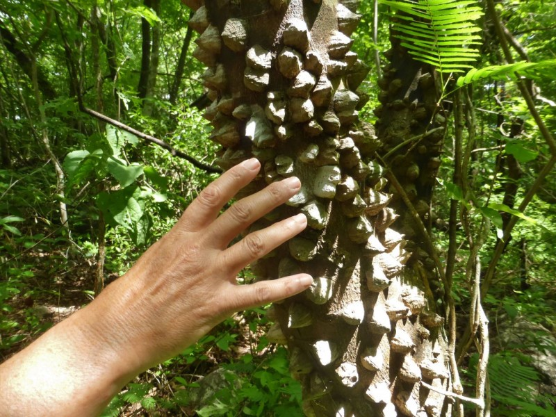 "Interesting flora and fauna along our jungle walk included this ""pokey tree."" Being the brilliant naturalists that we are, you'll have to follow someone else's blog to learn the official names of these things."
