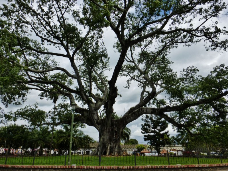 This huge Ceiba tree fills the entire town square in Gigante, Colombia.
