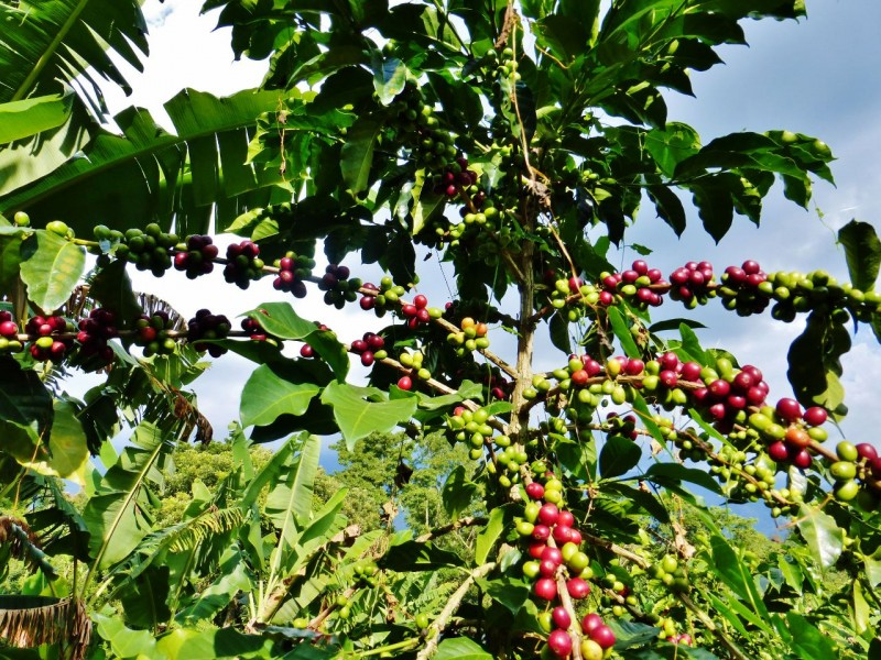 Coffee beans on the vine.  The red ones are ready for picking while the green ones have a way to go.  Each bean is picked by hand as it ripens.