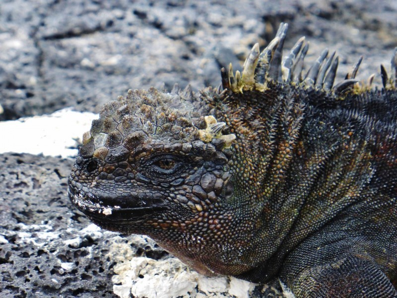 Charles Darwin really was inspired to come up with his theory of natural selection after a visit to the Galapagos.  The marine iguanas, being the only iguanas that actually dive for food and can stay underwater for up to an hour, stimulated 'ol Charles' brain into wondering how and why these former land critters adapted to the sea.