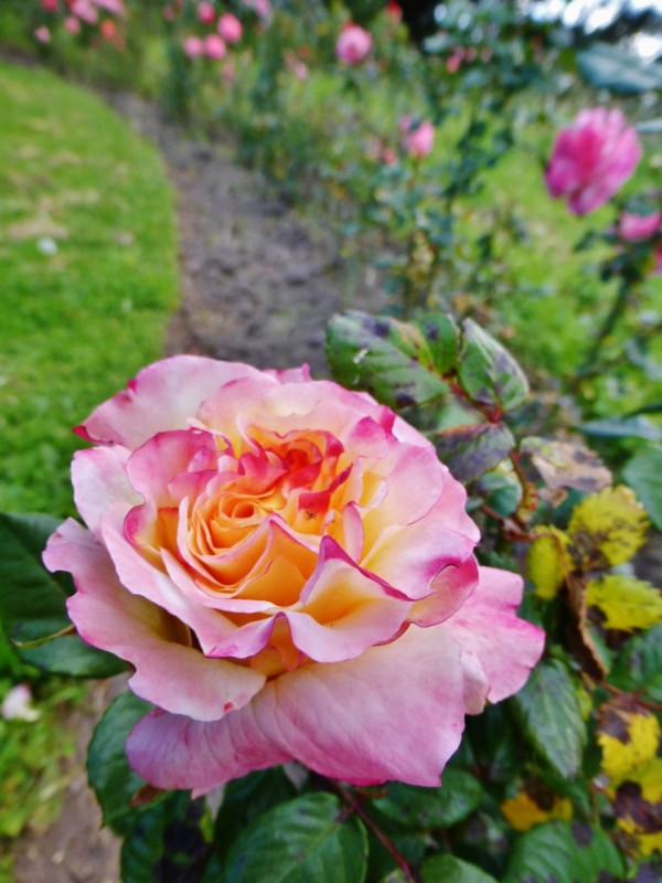 Ancient rose gardens…