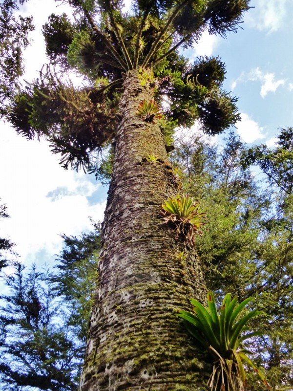 And cool old trees.  This is an Araucaria araucana (commonly called the monkey puzzle tree, monkey tail tree, Chilean pine, or pehuén), and it is the national tree of Chile.  The plants growing out of the trunk are Bromeliads, commonly found in the Amazon…yes, we are nearing the outskirts of the Amazon Jungle!
