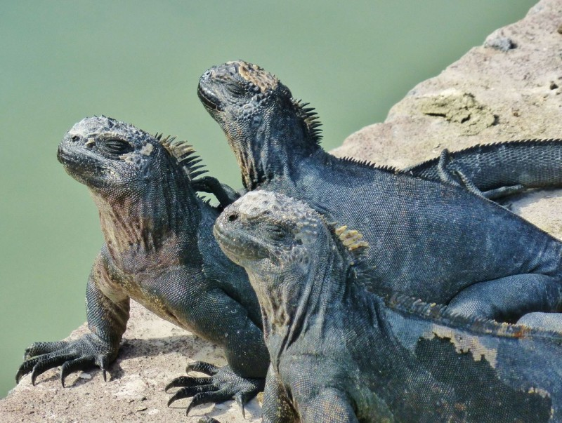 The official welcome to The Galapagos Islands was given by these stoic marine iguanas…