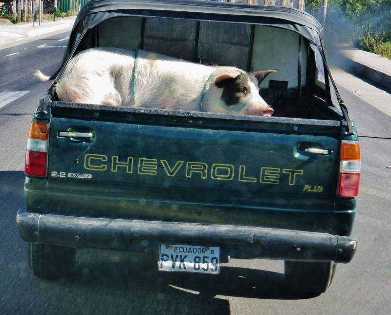 This big piggy went to market – in this little truck.  We bet he wished he'd stayed home.