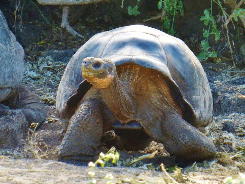 …and this giant, 150 year old, 400lb land tortoise…