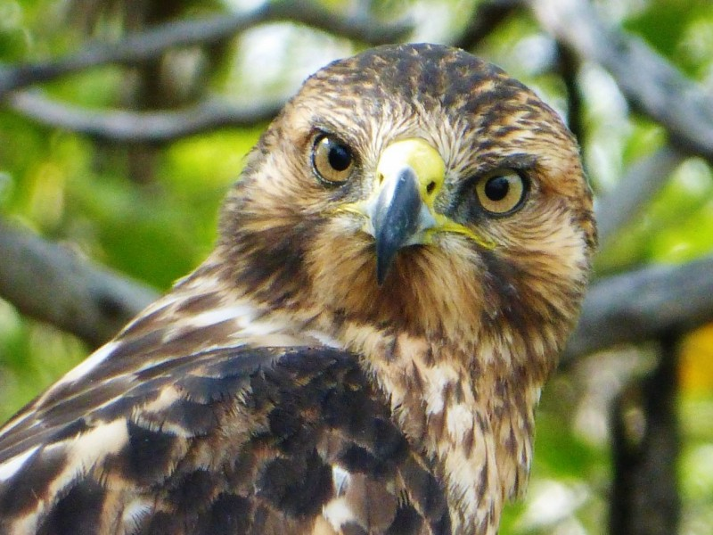 Up close with a stunning hawk.  This guy was a mere ten feet away and unconcerned.