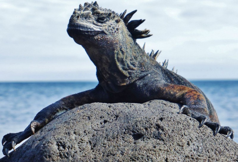 He may look like Godzilla about to eat New York, but he's really just trying to get warm.  The marine iguanas may have adapted to diving for long periods of time, but they are still cold blooded.  The black coloring is not for camouflage, but to absorb warmth from the sun.  After diving, the marine iguanas are so cold they can barely move.  Seeing thousands of them (literally) frozen on the rocks is quite a spectacle as they raise their little reptilian temperatures to where they can move again.