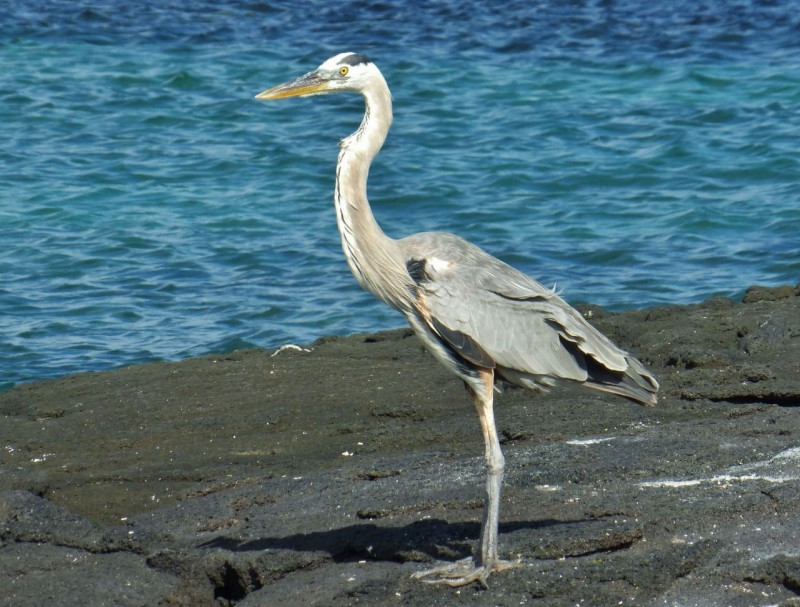 Great heron.