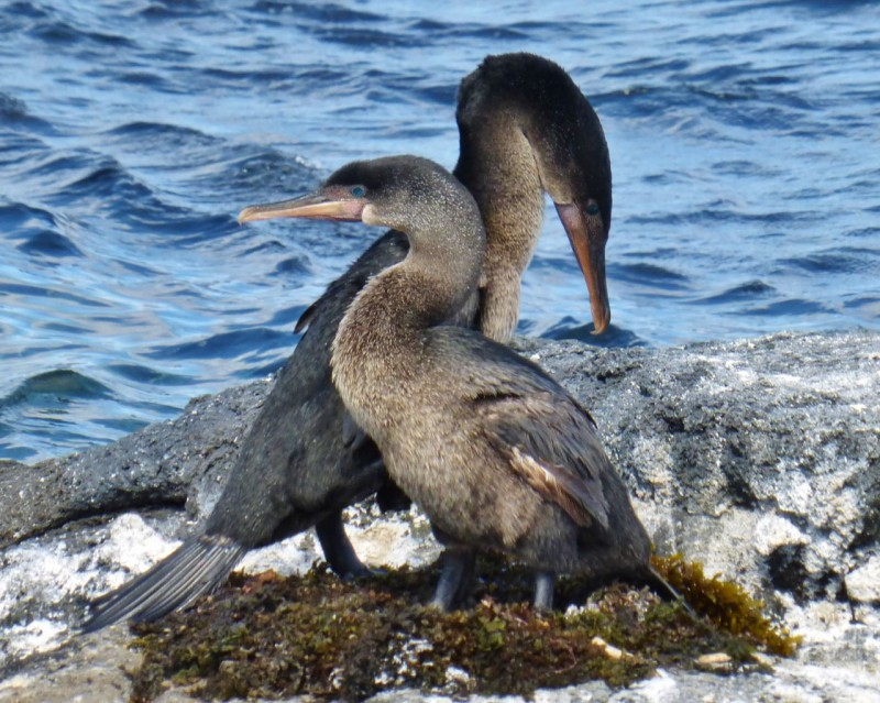 """Oh, Herbert, I love you so much.  You are the best bird on this rock!"" On a serious note, the abundance of food here has rendered flight unnecessary for Galapagos' flightless cormorants, and their wings really have shrunk to useless stubs.  Another stunning example of adaptation and natural selection."