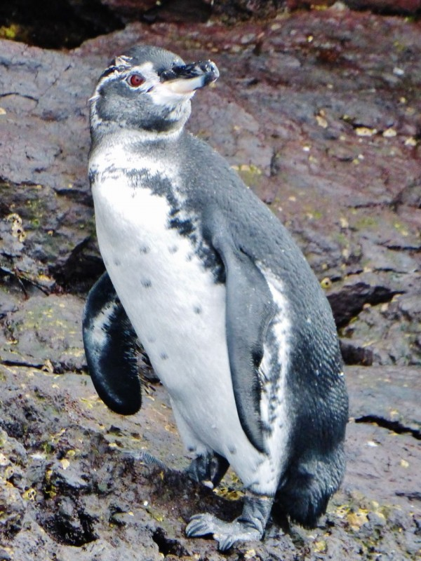 This was our first view of the tiny penguins that are unique to the Galapagos.