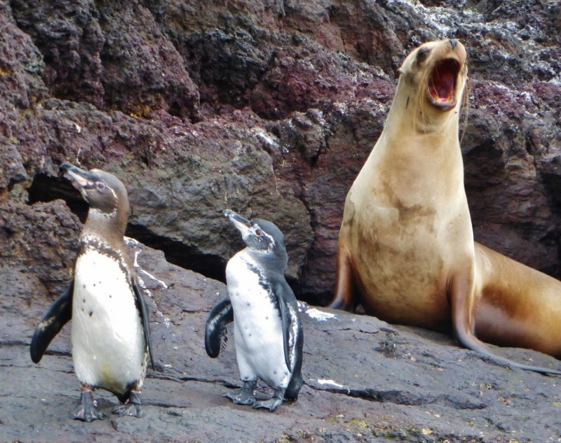 The march of the mini penguins got a laugh out of this sea lion.