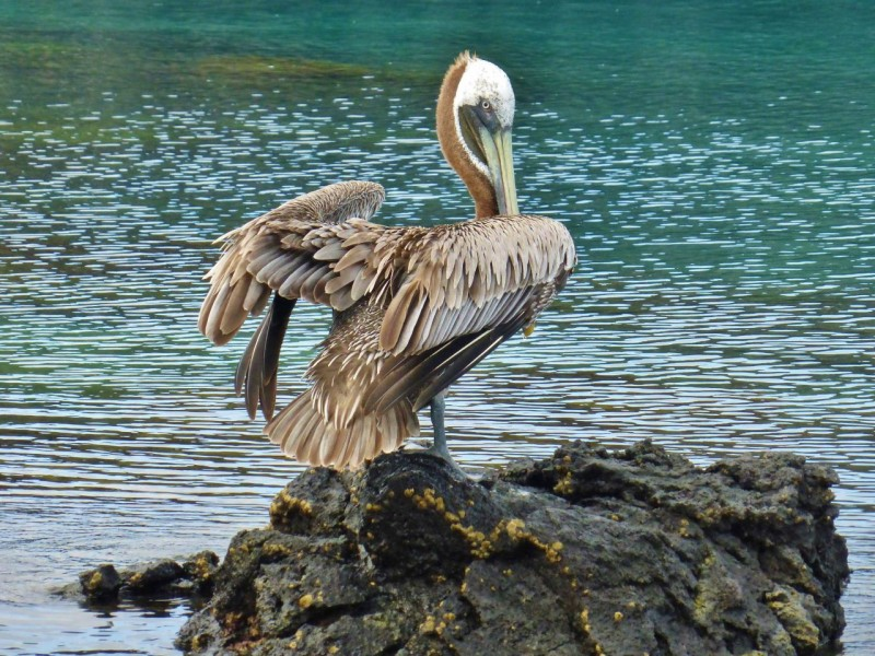 A huge, majestic pelican.