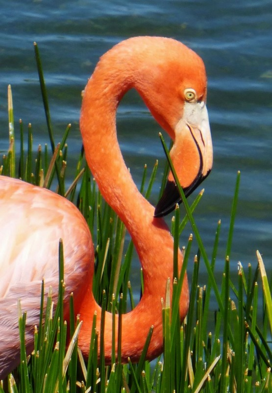 Flamingos!  But not pink, rather an orange sherbet.  Evidently they get their dramatic color from eating shrimp.