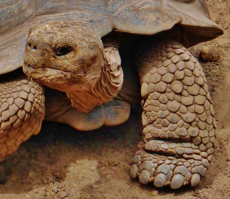 Giant tortoise front.