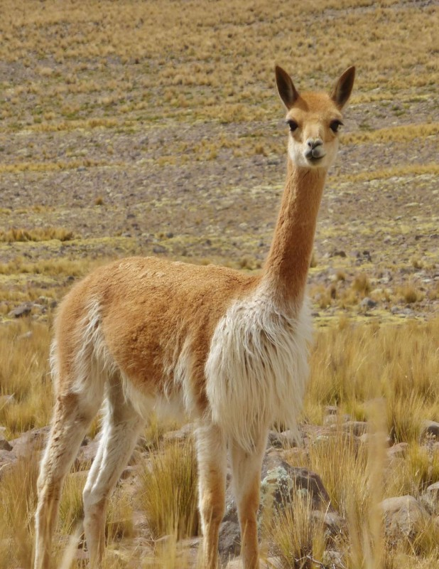 Our first spotting of a Pampa Galera or Vicuña, a critter that is smaller than a Llama and known for its soft wool coat.  We remembered seeing these guys everywhere along the roadside back in 2008 and this trip confirmed they are still there – everywhere.