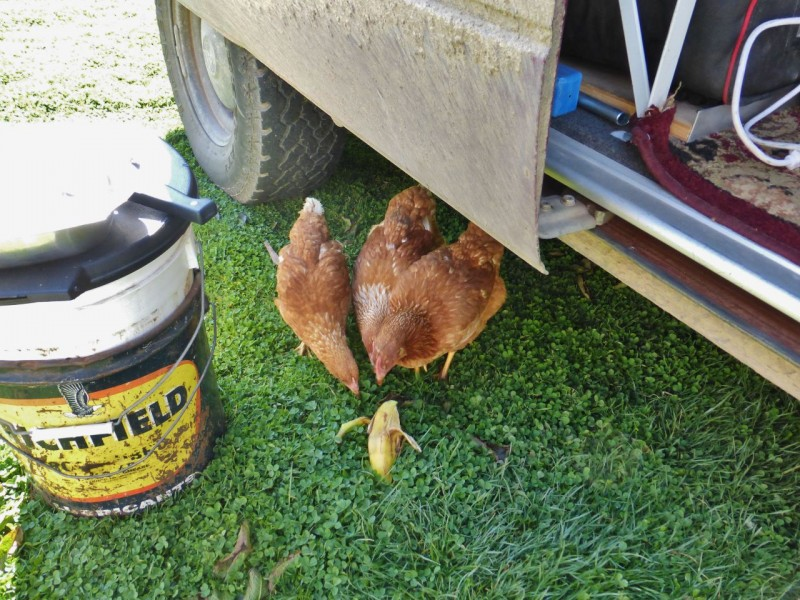 "Curious chickens check out an unripe banana at the Quinta LaLa campground.  A good thing about these places is the wealth of info shared, such as where to find a good welder who could fix my busted bracket.  It turned out Cusco featured a mobile mechanic (via taxi) who had the market cornered on Overlanders and their problems.  I jockeyed for the work time of ""Juan"" with several Germans who seemed in need of his services at the same time.  Juan spoke pretty good English and quickly grasped my ideas on how to modify the stupid VW designed bracket and add some more strength to the wretched part, already work hardened and metal fatigued from it's last welding session."