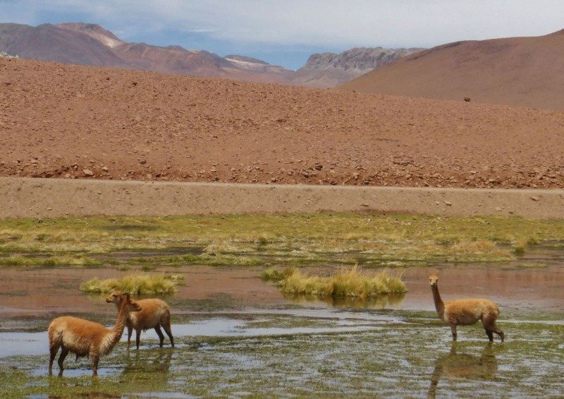 On New Year's Eve we drove 70 miles up hill to Geysers el Tatio. San Pedro is at a low 8,000ft, but once again we found ourselves back at 14,000ft for the night. We passed these guys munching a watery meal along the way.