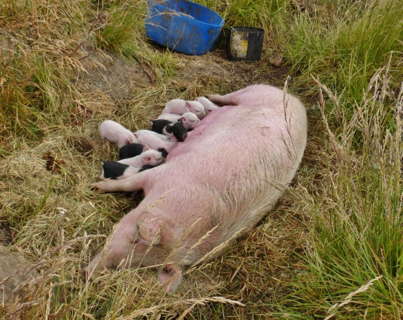 By now I was (as Ned said later) an official pig farmer, and there was more work to be done.  Another mother and her babies needed to be relocated so the game was repeated.