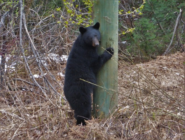 Professional Tree Hugger. This guy was our first Black Bear sighting with many more to come. He was right along the highway and when we stopped he ran and tried to climb a power pole!
