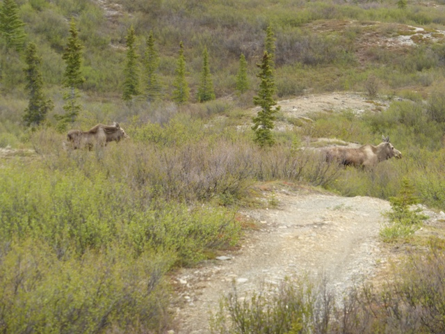 …and crossed paths with this moose cow and her yearling calf. Yikes, glad they were running the other way!