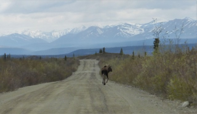 Heavy traffic along the Denali Highway.