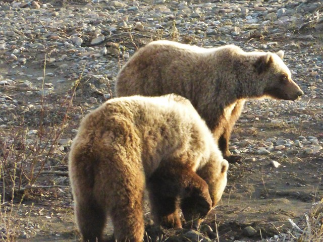 But, visiting the park had its payoff. Grizzlies!!! Two of them at once. These guys were eating roots in a riverbed just off the road and seemed unperturbed by all the tourists taking their picture.