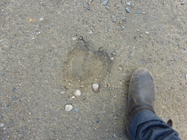 Adding to the remoteness were all the signs of big hungry critters that we've never seen before. First off were the big egg shaped pellets we figured were moose. Next came wolf tracks…. Then grizzly bear (a small one) and finally moose hoofs. Onward!