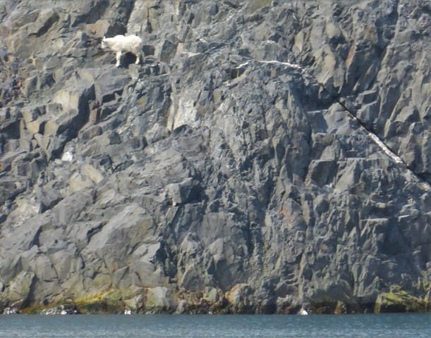 What the heck?! This mama goat was on a thousand foot sheer rock wall, just above the sea. Not really sure why she wanted to be here - except because she could!