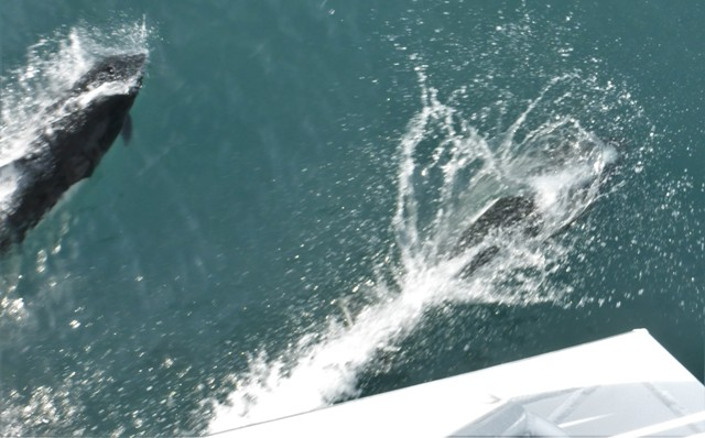 Not a great shot, but an entire school of dolphins escorted us back to port, swimming under the boat side to side and frolicking in front of us. It was incredible to witness their speed as they easily kept up with the ship!
