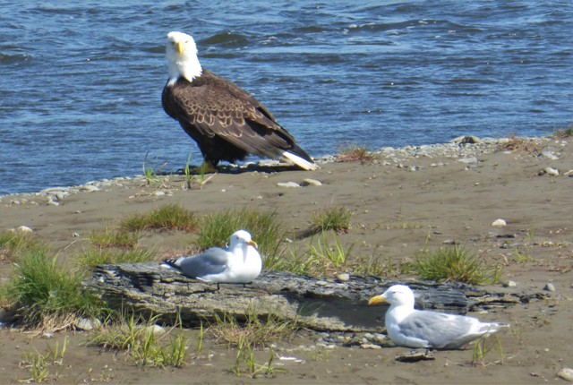 So many beautiful bald eagles in Alaska!