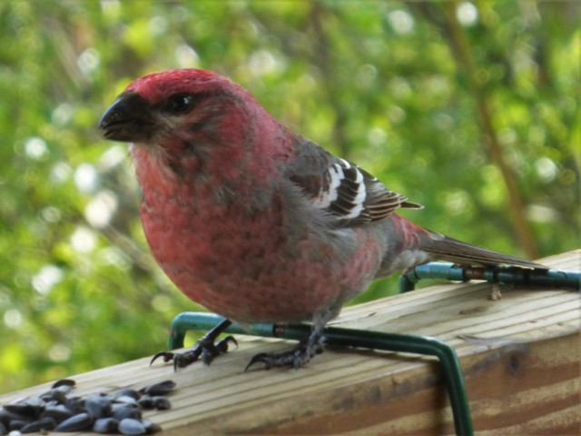 "Robin's ""pet"" Grosbeak."